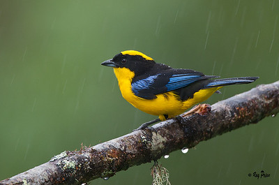 Blue-winged Mountain-Tanager Sachatemia, Ecuador