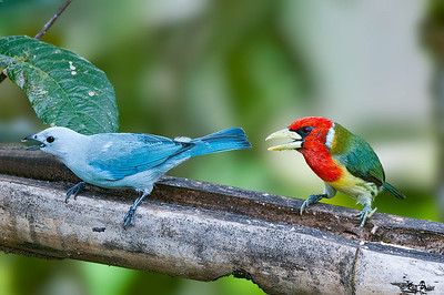 Blue-gray Tanager and Red-headed Barbet