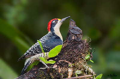 Black-cheeked Woodpecker Ecuador
