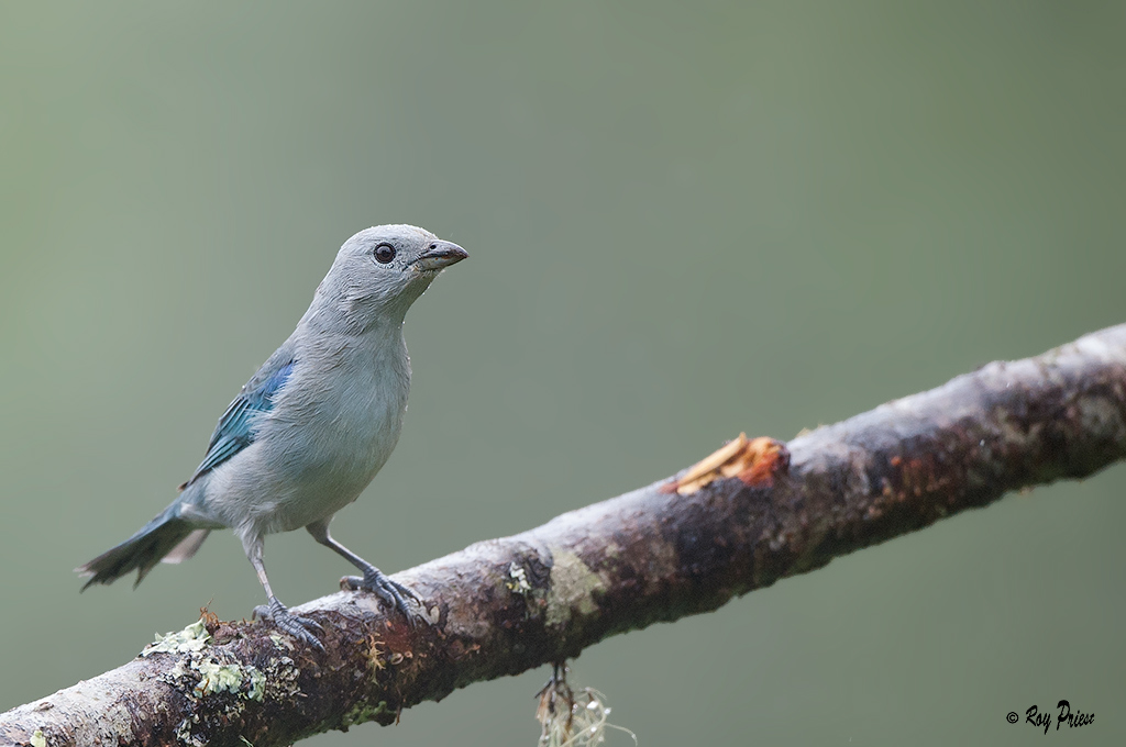 Blue-grey Tanager Sachatemia, Ecuador
