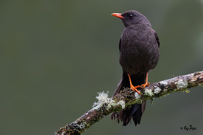 Great Thrush Guango, Ecuador