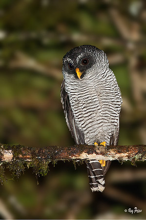 Black-and-white Owl Sachatemia, Ecuador
