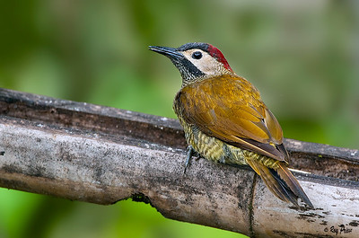 Golden-olive Woodpecker Ecuador