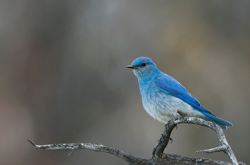 Mountain Bluebird, Male  Lac le Jeune area, B.C. Canada