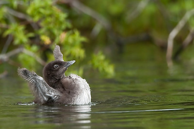 Common Loon chick. Mom, I'm over  here.   Lac le Jeune, B.C. Canada
