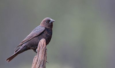 Brown Headed Cowbird Lac le Jeune, B.C. Canada
