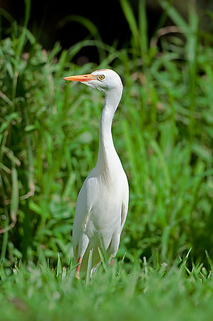 Cattle Egret  Molokai