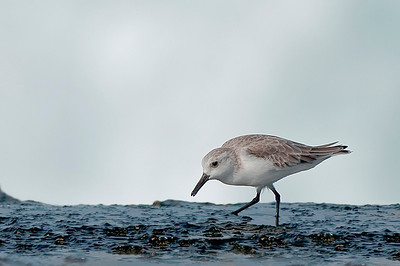 Sanderling with waves breaking in the background. Molokai