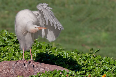 Cattle Egret Maui