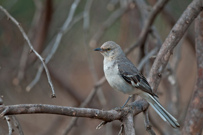 Northern Mockingbird Maui