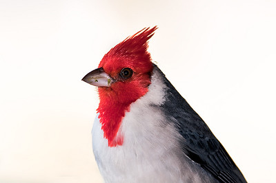Red Crested Cardinal  Molokai
