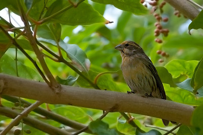 Yellow Fronted Canary.  Molokai, Kaluakoi