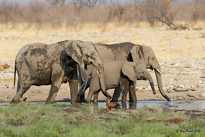African Elephant and Tawny Eagle