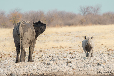 African Elephant and Black Rhinoceros