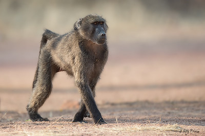 Chacma baboon Waterberg National Park, Namibia, Africa