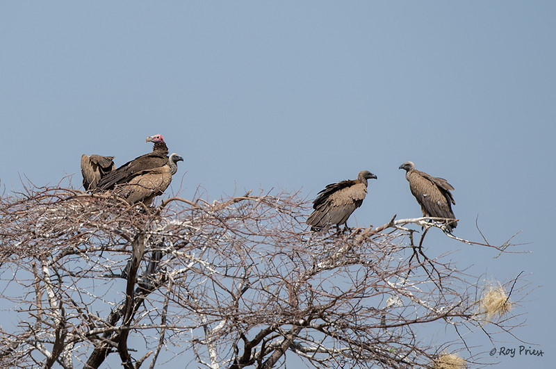 Lappett-faced and White-backed Vulture