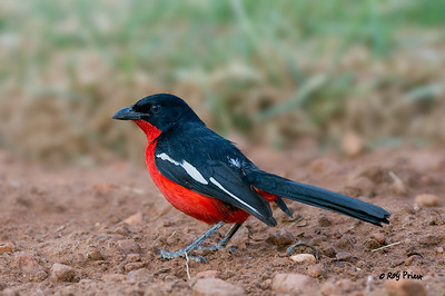 Crimson-breasted Shrike