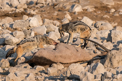Black-Backed Jackal eating a Lion killed Oryx