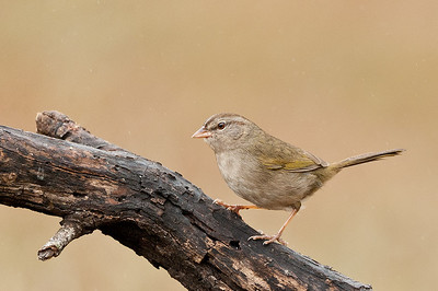 Olive Sparrow.