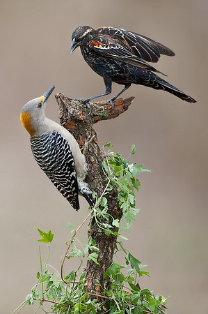 Golden-fronted Woodpecker and Red-winged Blackbird