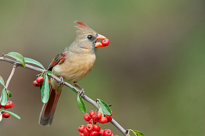 Female Northern Cardinal with berry