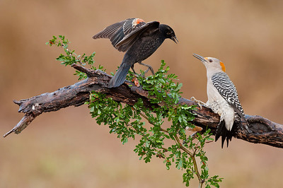 Red-Winged Blackbird and Golden-fronted Woodpecker