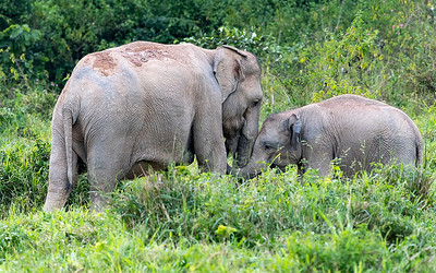 Indian Elephant and Calf