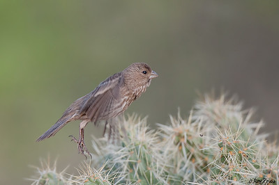 House Finch Female  The Pond at Elephant Head, Amado, AZ
