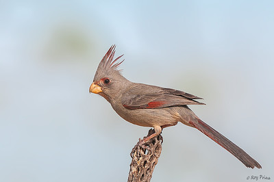 Pyrrhuloxia Female