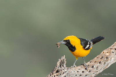 Hooded Oriole Male  The Pond at Elephant Head, Amado, AZ