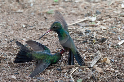 Broad-billed Hummingbirds
