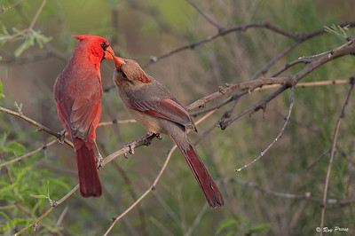 Cardinal Male and Female  The Pond at Elephant Head, Amado, AZ