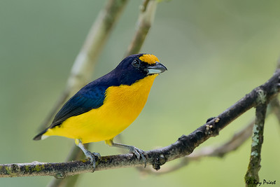Olivaceous Euphonia