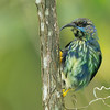 Purple Honeycreeper, young male