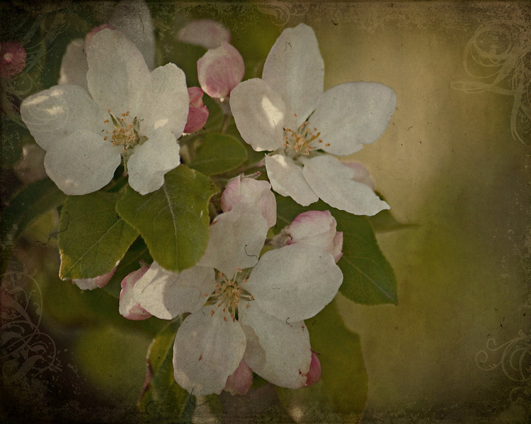 """Vintage Blossoms<br /> These are crab apple blossoms from this spring.  I have added texture for a vintage varnished look.<br /> <br /> Visit my Greeting Card store to purchase this print as a card<br />  <a href=""""http://www.greetingcarduniverse.com/dakotawindscards"""">http://www.greetingcarduniverse.com/dakotawindscards</a>"""