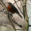 The first Robin of spring, perhaps?