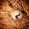 Sociable Weaver in nest