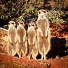 Meerkat line-up