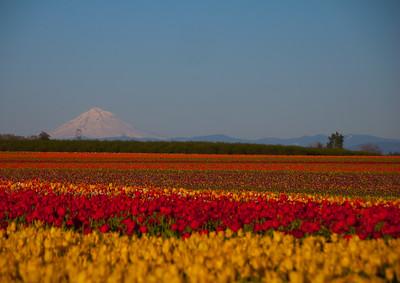 tulips, mt hood