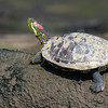 Red-eared Slider (Turtle)