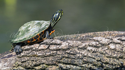 Northern Red-bellied Turtle