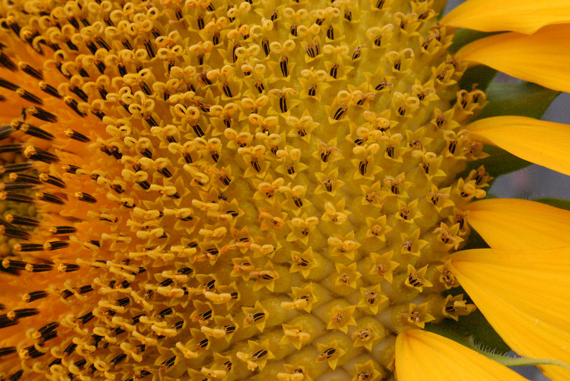 Curly-Q Dig the tiny curls! The surface of a sunflower is far more complex than one might think. The