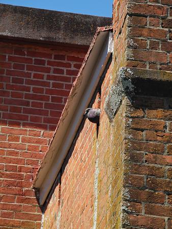 Pigeon (by Allyson Reynolds)