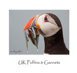 UK Puffins & Gannets