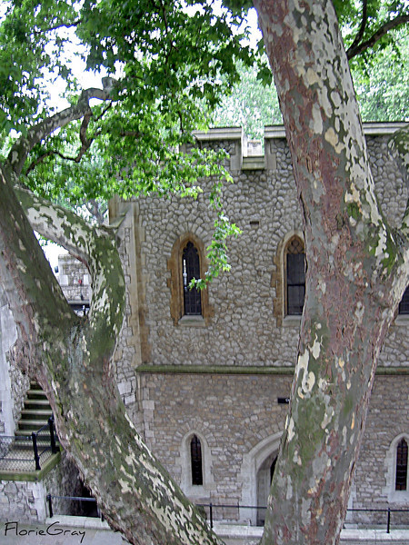 Through the Tree <br /> Tower of London