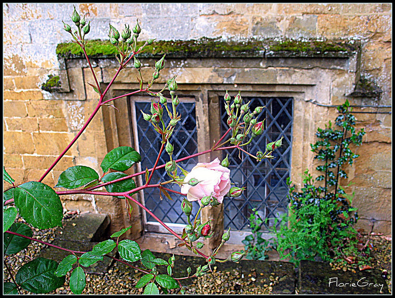 One Perfect English Rose, Wroxton Abbey <br /> ...after the rain
