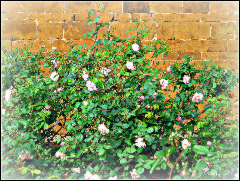 Misty Roses, Wroxton Abbey <br /> You look to me like misty roses<br /> Too soft to touch<br /> But too lovely to leave alone<br /> <br /> You look to me like misty roses<br /> Too soft to touch<br /> But too lovely not to try