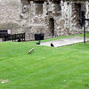 Ravens, Tower of London