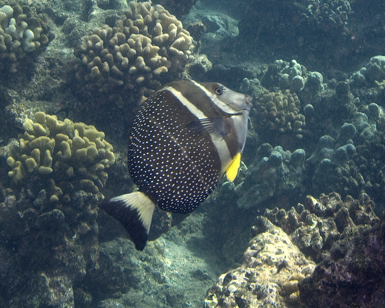 WHITE SPOTTED SURGEONFISH
