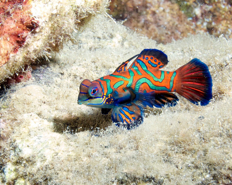 MANDARIN FISH (male)